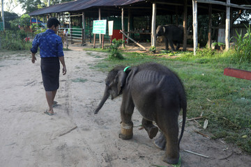 Ayeyar Sein, a four-month-old baby elephant who lost her parents to poachers, heads back to her rest area after a short walk in Wingabaw Elephant Camp, Bago
