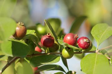 Erdbeer-Guave  Psidium Cattleianum Pflanze