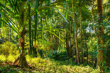 Nature landscape of tropical jungle forest with green lush foliage