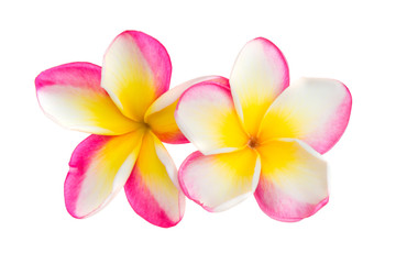 Two pink and yellow frangipani plumeria flowers with isolated petals on white background