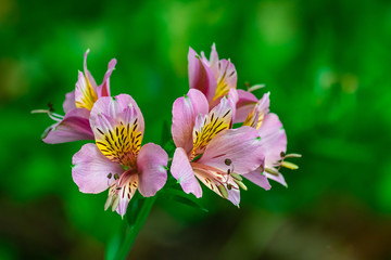 Peruvian lily, (altroemeria aurantiaca ligtu), blooming with dark green vegetation background
