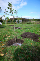 Freshly planted fruit tree on a meadow