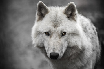 Wall Mural - Portrait of polar wolf handsome young male.