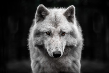 Poster de jardin Loup Portrait of polar wolf handsome young male.