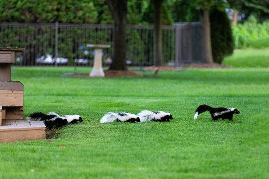 Mother Skunk with Babies