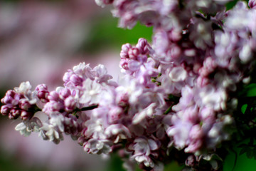 contrast and texture on lilac with blurry effect for gardening