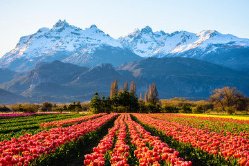 Scene view of field of tulips against snow-capped Andes mountains and clear sky in Trevelin, Patagonia, Argentina Fotomurales