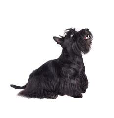 Black scotch terrier