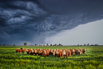 Stores à enrouleur Texas Ellis County, KS USA - Cows Bracing Together for the Thunderstorm Rolling in