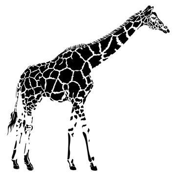 Realistic giraffe in vector