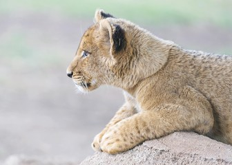 Profile of a lion cub Wall mural