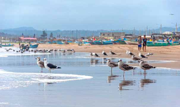 Seagulls on the beach sand in front of the ocean looking for food. San Pedro, Manabí, Ecuador.
