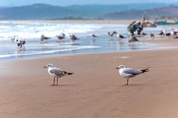 Two seagulls standing on the sand at the beach facing the ocean, San Pedro, Manabi, Ecuador