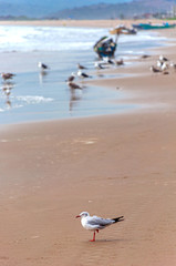 A seagull standing on the sand at the beach looking for food, San Pedro, Manabi, Ecuador