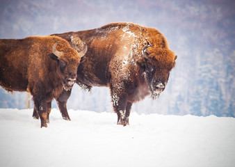 Door stickers Bison european bison (Bison bonasus) in natural habitat in winter