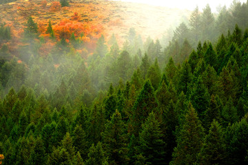 Autumn Fall Maple and Pine Trees with Fog on Mountainside