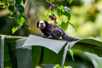 White headed marmoset photographed in Sooretama Biological Reserve in Linhares, Espirito Santo, Brazil. Picture made in 2013.
