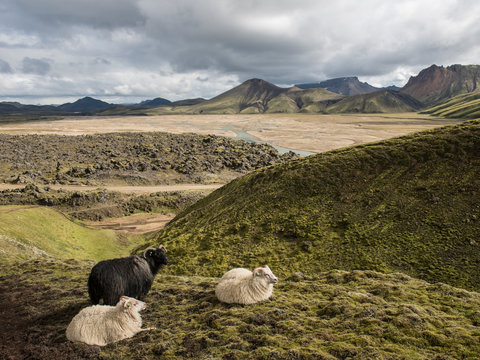 Sheep on hill