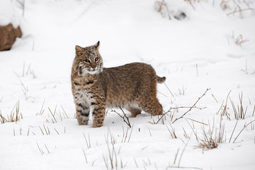 Fototapete - Bobcat (Lynx rufus) Stands in Snow Looking Out Winter
