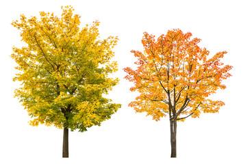 Fototapeta Maple tree autumn isolated white background autumnal leaves obraz
