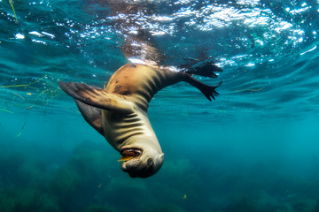 Sea lion playing in sea