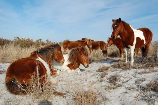 Wild horses of Assateague Island, Worcester County, Maryland.
