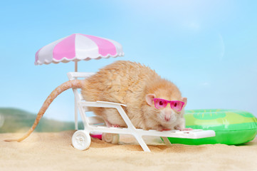 Rat laying on the beach under the sun umbrella