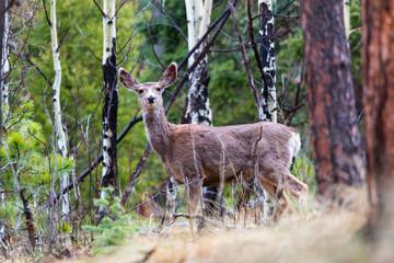 Wilderness Mule Deer