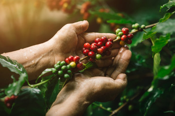 [coffee berries] Close-up arabica coffee berries with agriculturist hands
