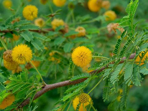 Close up Yellow flower of Acacia Farnesiana tree.