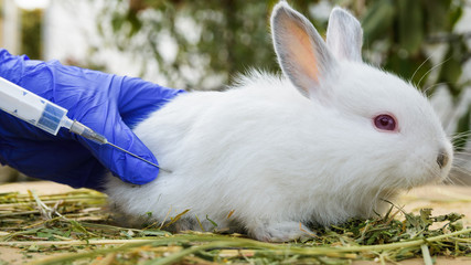 man in medical gloves vaccinates a little white rabbit