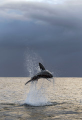 Breaching Great White Shark. Dawn sky and storm clouds background.  Scientific name: Carcharodon...