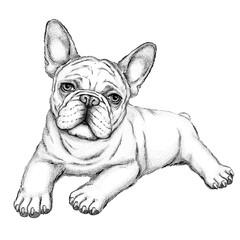 Bulldog sketch.  Vector illustration of french bulldog.  Drawn puppy.