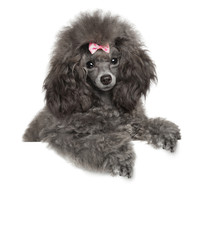 Toy Poodle above banner on white background
