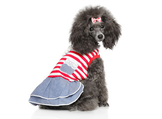 Toy Poodle Toy Poodle in fashionable dog clothes