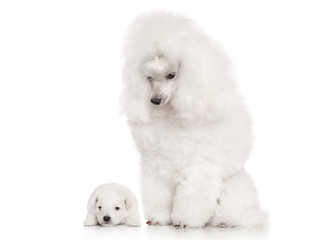 White Poodle dog mother with her puppy