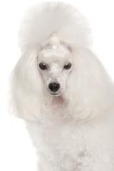 Portrait of a white Miniature Poodle dog