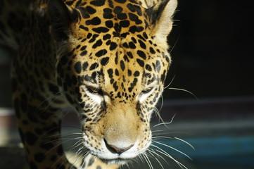 美しきハンター ジャガー