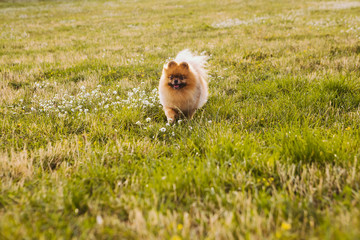 Pretty small dog Pomeranian Spitz. Pet and nature. HAppy pet walking moments