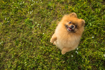 Begging smiling dog Pomeranian Spitz looking up and smiling. Funny small dog portrait