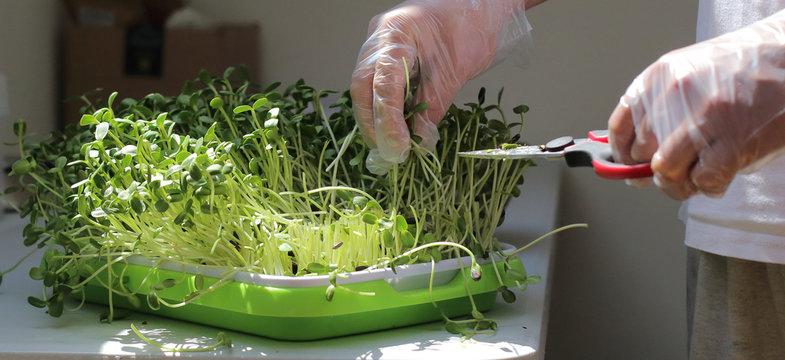cropping microgreens