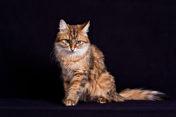 .Fluffy siberian cat sitting on  black background