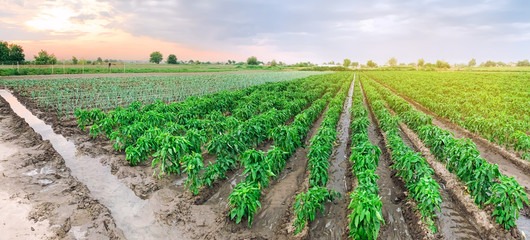 Panoramic photo of a beautiful agricultural view with pepper plantations. Agriculture and farming. Agribusiness. Agro industry. Growing Organic Vegetables Fototapete