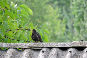 A male Eurasian blackbird with ruffled feathers sitting on a roof made of asbestos-cement sheets, a forest in the background