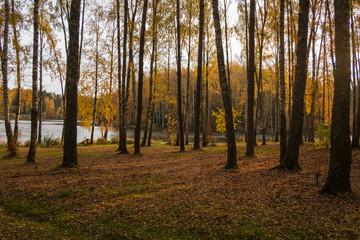 birch grove on a sunny autumn morning