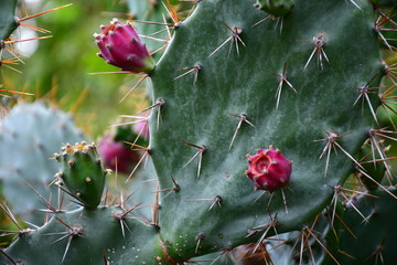 Photo sur Aluminium Cactus cactus in bloom