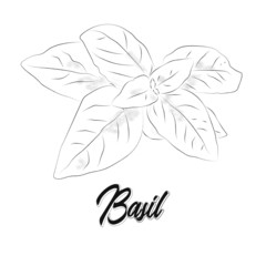 A sprig of basil. Vector hand drawn basil leaves. Vector illustration of basil for restaurant design.