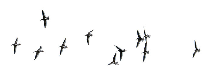 Flock of gulls cut out and isolated on a white background