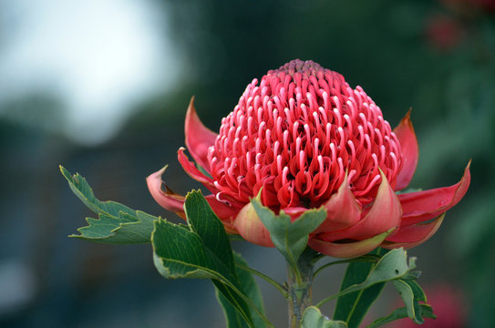 Red and magenta flower head of a native Australian protea, the Waratah, Telopea speciosissima, family Proteaceae. Floral emblem of the state of New South Wales, Australia.