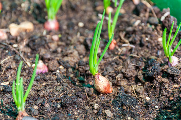 Small Onion sprouts growing in compost soil